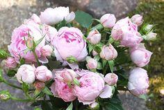 ジャンティーユ - New Roses 産経デジタル