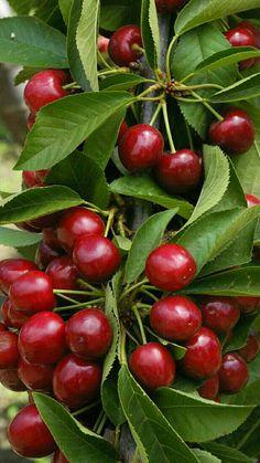 Lapins Cherry Tree at Backyard Fruit