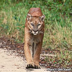 Florida panthers once prowled and flourished in America's southeastern woodlands and swamps, but today fewer than 160 remain.