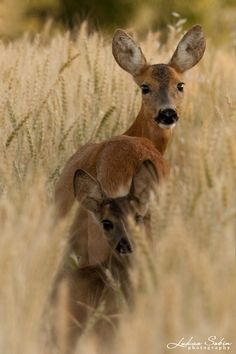 Wildlife - title Red deers in the Corn Field - Mother with Young - by Lukas Sobin