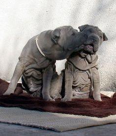 Chinese Shar-pei Puppies kissing... by sas*, via Flickr