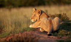 Young lion cub soaks up the last of the suns rays in South Africa.