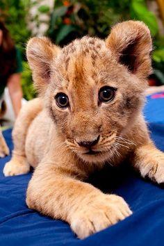Baby lion, Busch gardens ✿⊱╮