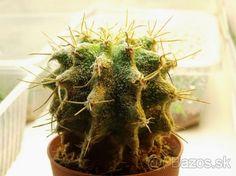 Medzirodový hybrid Ferocactus a Astrophytum - 1