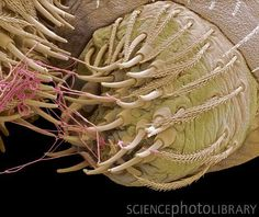 Spider spinneret. Coloured scanning electron micrograph (SEM) of the end of a spider's abdomen showing silk (threads) being produced by a spinneret. Magnification: x600 when printed 10cm wide.