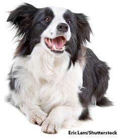 Border Collie #bordercollie #dog