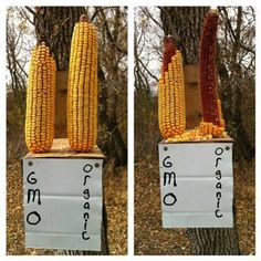 What do squirrels think of GMO?