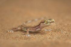 Arabian Sand Gecko (Stenodactylus arabicus)   Flickr - Photo Sharing!