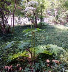 Giant hogweed makes a splash in the media, but is rarely found in Michigan.