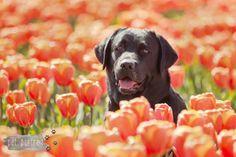 Hondenfotograaf Hillegom - Labradors tussen de tulpen-6