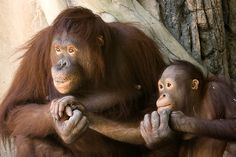 Orangutans. There's no moral difference between the animals, birds, fish, and insects we hunt, those we use for entertainment, those we kill for food and use as commodities, and those we love as members of our families. All animals, birds, fish and insects are sentient and have a right to live. Go vegan and stay vegan for them. It's the least we can do. Start here: www.befairbevegan.com Adopt, spay and neuter your companion animals!