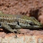 Lizard, Nerja, March 20th March 20th, Reptiles And Amphibians, Wildlife, Birds, Nature, Animals, Animais, Naturaleza, Animales