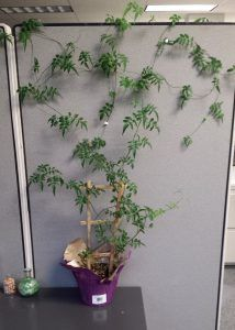 Use your creativity to create a #cubicle wall of ivy!