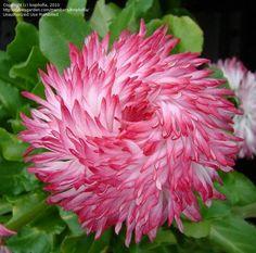 English Daisy, Lawn Daisy, Bruisewort 'Habanera Mix' (Bellis perennis)