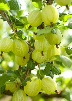 gooseberries growing in the fruit garden