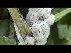 Elimine cochonilha e pulgão com inseticida caseiro potente - YouTube