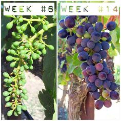 Week 14: Have been waiting for this exact picture ever since week 1...to compare the beginning stage of the grape cluster to that exact cluster after its gone through veraison. How different they look! The cluster will continue to ripen over the next few weeks until all of the grapes are that beautiful purple hue. #beckmensyrah2015