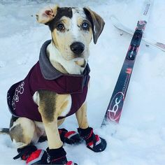 When you're ready for photoshoot before skiing but your ear doesn't cooperate.photo by @adventures.with.sequoia #mydogiscutest #thecute4paws #cutestofthedogs #alaskadog #catahoulaleoparddog #catahoulasofinstagram #dogsandpals #dogsofficialdog #cutedoggy #lacyandpaws  #poshpamperedpets #dogs_of_world_ #aplacefordogs #dogsofinstagrams #topdogphotos #pawpack #animalscorner #barkboxday #bestwoofs #radhound #dog_features_  by thecute4paws