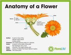 Image result for labelled diagram of a gerbera