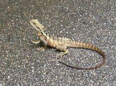Frill neck lizard, another harmless little guy
