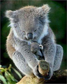 Amazing wildlife - Koala with tiny baby photo Baby Animals Pictures, Cute Baby Animals, Animals And Pets, Funny Animals, Cute Creatures, Beautiful Creatures, Animals Beautiful, Majestic Animals, Australian Animals