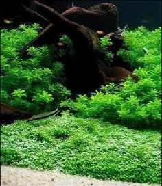 How to grow submerged riccia fluitans to make exquisite ground coverage for your natural aquascape