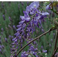 Quer ver a trepadeira glicínia florescer? Plante-a em um local frio. Suas flores surgem nos meses de outono e inverno.