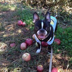 apple picking  www.spookytheboston.com