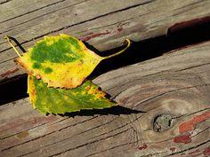 #Birkenblätter im #Herbst