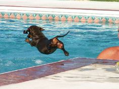Cappy doing her belly flop in the pool. She's older now & still swims but uses the steps... go Cappy (winks!) - photo via I love Dachshunds fb webpage