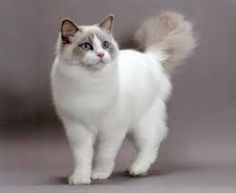 Image result for ragdoll patterns cat van