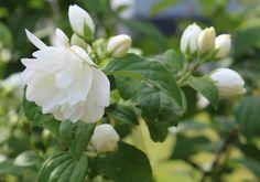 Falsk Jasmin, blomst og knopper uægte jasmin
