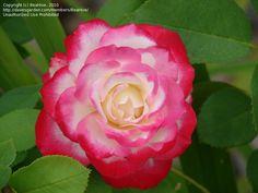 Rosa Cherry Parfait