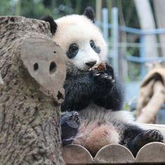 . あたちぃのキュートな お姿の動画を沢山のみなさまに 見ていただけて嬉しぃなぁ また遊びに来てね❣️ by シャンシャンょり . #上野動物園 #上野 #uenozoo #シャンシャン #xiangxiang #panda #パンダ #ふわもこ部 #動物園 #写真好きな人と繋がりたい