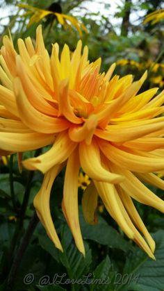 Dahlia Ludwig Helfert #dahlialove D Flowers, Herbaceous Perennials, Diy Garden Projects, Day Lilies, Zinnias, Mellow Yellow, Winter Garden, Chrysanthemum, Garden Inspiration
