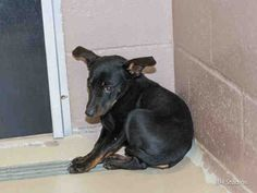 01/17/15-PLEASE UPDATES ANYONE? HURRY AND GET HIM! HOUSTON - SCARED BABY BY NEEDS A NEW HOME!! This DOG - ID#A422786 I am a male, black and brown Miniature Pinscher mix. My age is unknown. I have been at the shelter since Jan 14, 2015.