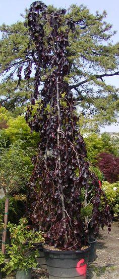 Copper Beech, Beech Tree, Shelter, Fountain, Gothic, Trees, Gardening, Landscape, Fruit