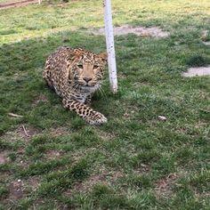 Dharma looks super gentle but trust me, he can be lethal... #dharmis se ve súper dócil pero puede ser letal... #saveLeopards #saveourplanet #behuman #notpets #nosonmascotas #blackjaguarwhitetiger #rescuedLeopards