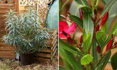 Tavasszal újra a szabadban: így hozd rendbe a teleltetéstől elcsigázott leandert! | Hobbikert Magazin Lombok, Plants, Plant, Planets
