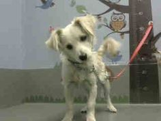#A464612 Moreno Valley CA male, cream Terrier mix and Cocker Spaniel. The shelter thinks I am about 7 months old I have been at the shelter since Jul 13, 2016 and I may be available for adoption on Jul 20, 2016 at 2:14PM http://www.petharbor.com/pet.asp?uaid=MRVL.A464612 Moreno Valley Animal Shelter at (951) 413-3790 Ask for information about animal ID number A464612