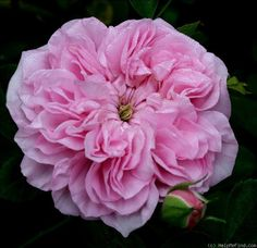 'May Queen (Rambler, Van Fleet, 1898)' rose: Coral-Pink, Strong fragrance, Shade-tolerant,4b-9b, Used as ground cover, Hardy, Very disease resistant, prune after flowering, Height 15'-30'