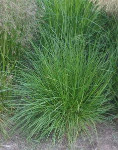 Deschampsia cespitosa  'Tautraeger' Dew Carrier(spring or fall planting) sun, part shade, groups or massing, 1-2 ft., slender inflorescence, Zone 4-9