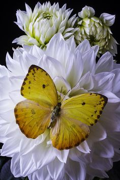 Yellow Butterfly On White Dahlia Photograph by Garry Gay