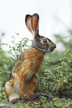 The Indian hare is primarily found in semi-arid scrublands, camouflaged in its surroundings by its earth-coloured coat. Image: Baiju Patil