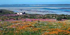 namaqualand flowers 2020 - Google Search Wild West, West Coast, Mountains, Google Search, Nature, Flowers, Travel, Naturaleza, Viajes