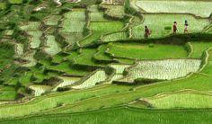 Nepalese farmers walk past rice paddy fields in Changu Naryan village on the outskirts of Kathmandu