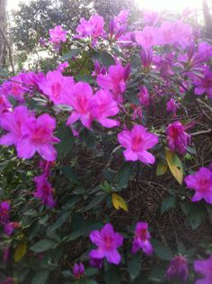 Azaleas...Photo by Linda Guy Phillips