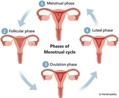 How to Balance the 4 Phases of Your Cycle Phase 1-Menstruation - Move Blood Phase 2-Follicular Phase - Build Yin and Blood Phase 3-Ovulation - Promote Yang (Warmth and Movement) Phase 4-Implantation or Pre-Menstrual Phase - Regulate the Flow of Qi (Pre-Menstrual Phase) or Promote Yang (Implantation)