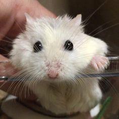AyaさんはInstagramを利用しています:「#PORO いろいろ可愛い(⑉︎• •⑉︎)♡︎ * またまたここからご挨拶 好奇心いっぱい  #ハムスター#hamster#hamstergram#ロボロフスキー#roborovski#チームげっ歯ラブ#アニマル写真部#ふわもこ部 #Aハムイチャコラ」