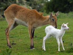 white baby antelope